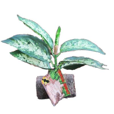 Tropical Terrace Sm Greenleaf Terrarium Plant