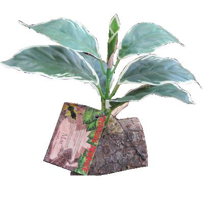 Tropical Terrace Hosta Terrarium Plant