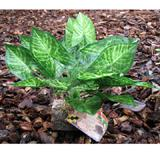 Tropical Terrace Big Leaf Terrarium Plant