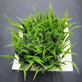 Fluval Chi Hair Grass Aquarium Plant
