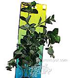 Green Bacopa Bushy Plastic Aquarium Plant
